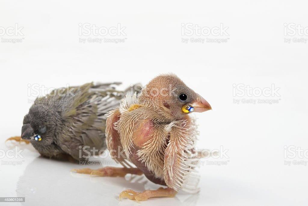 Gouldian finch hatchlings royalty-free stock photo