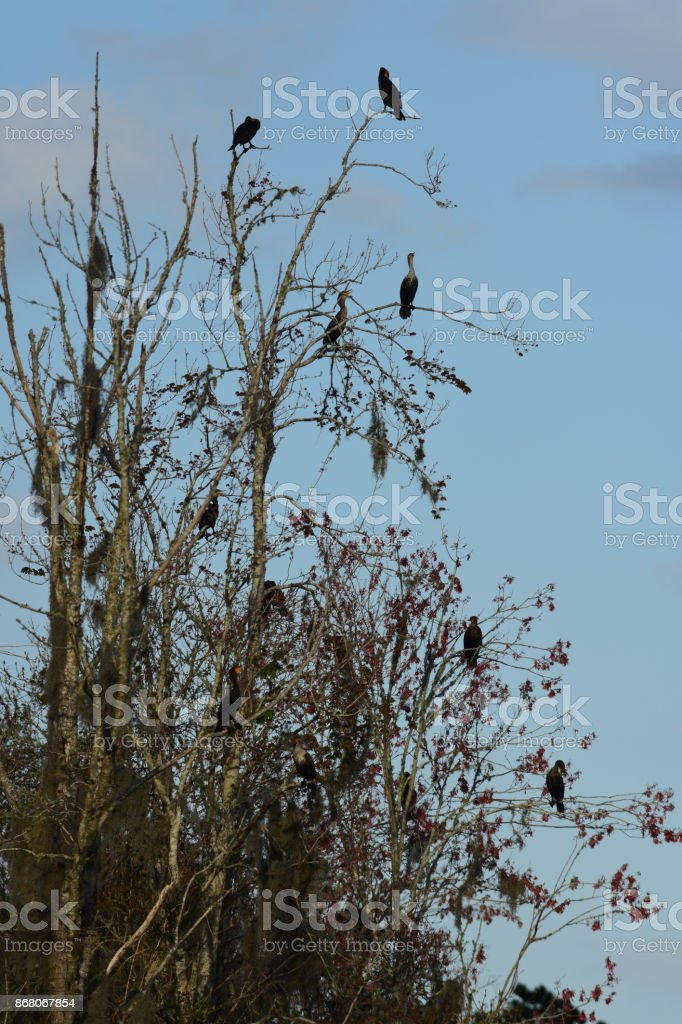 Goup of Cormorants roosting in tree at dusk stock photo