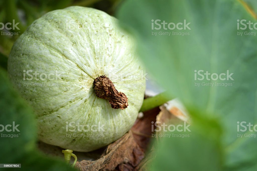 Gourd plant in the garden royalty-free stock photo