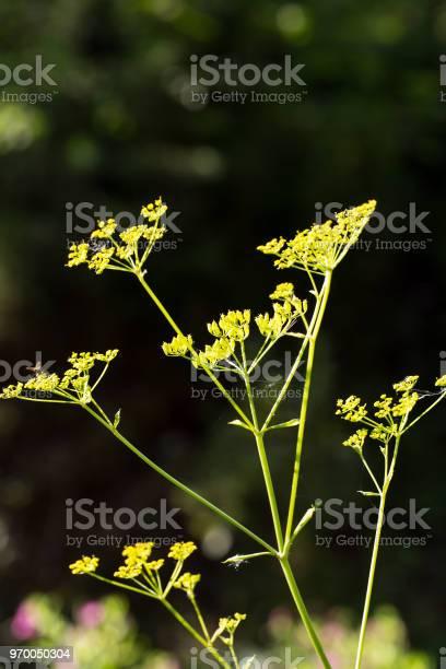 Goutweed (Aegopodium podagraria) flower in the garden