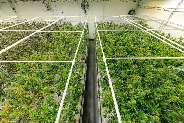 Government Sanctioned Commercial Cannabis Greenhouse with Rows of Marijuana Plants stock photo