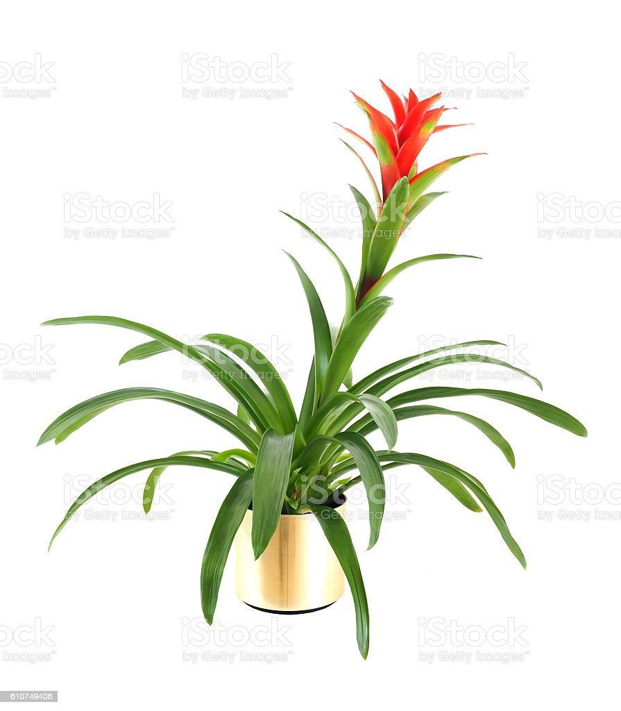 Gozmania Bromeliad Isolated on White – zdjęcie