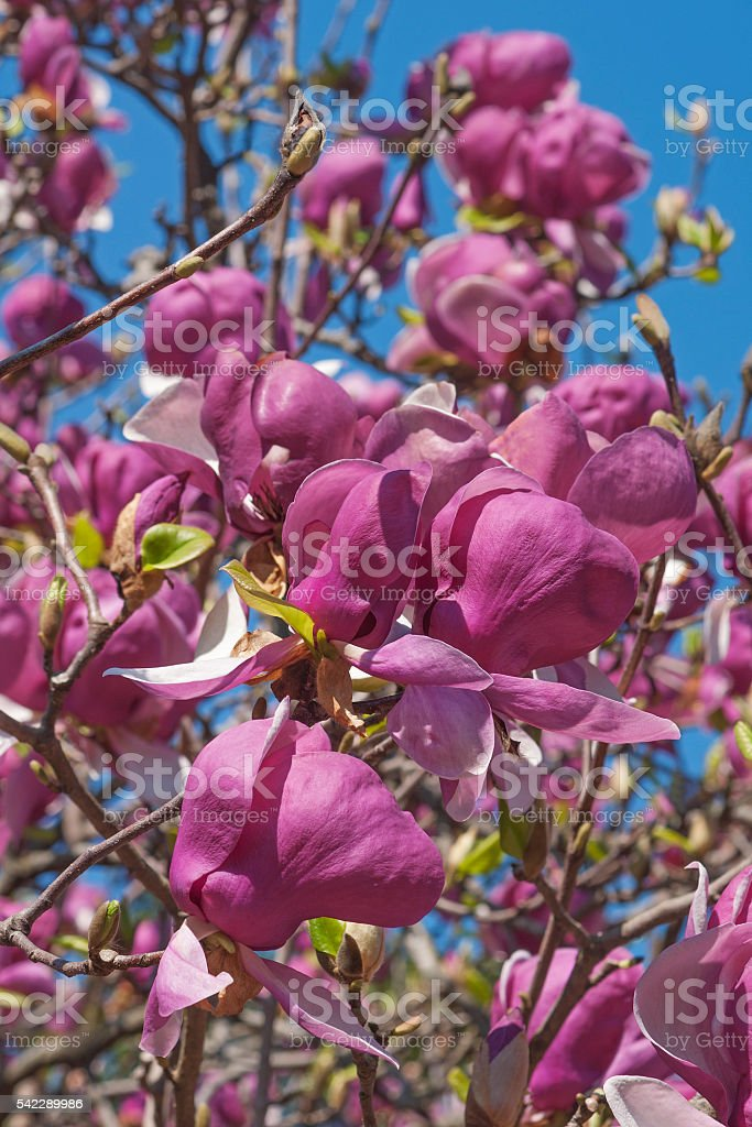 Grace McDade saucer magnolia flowers stock photo