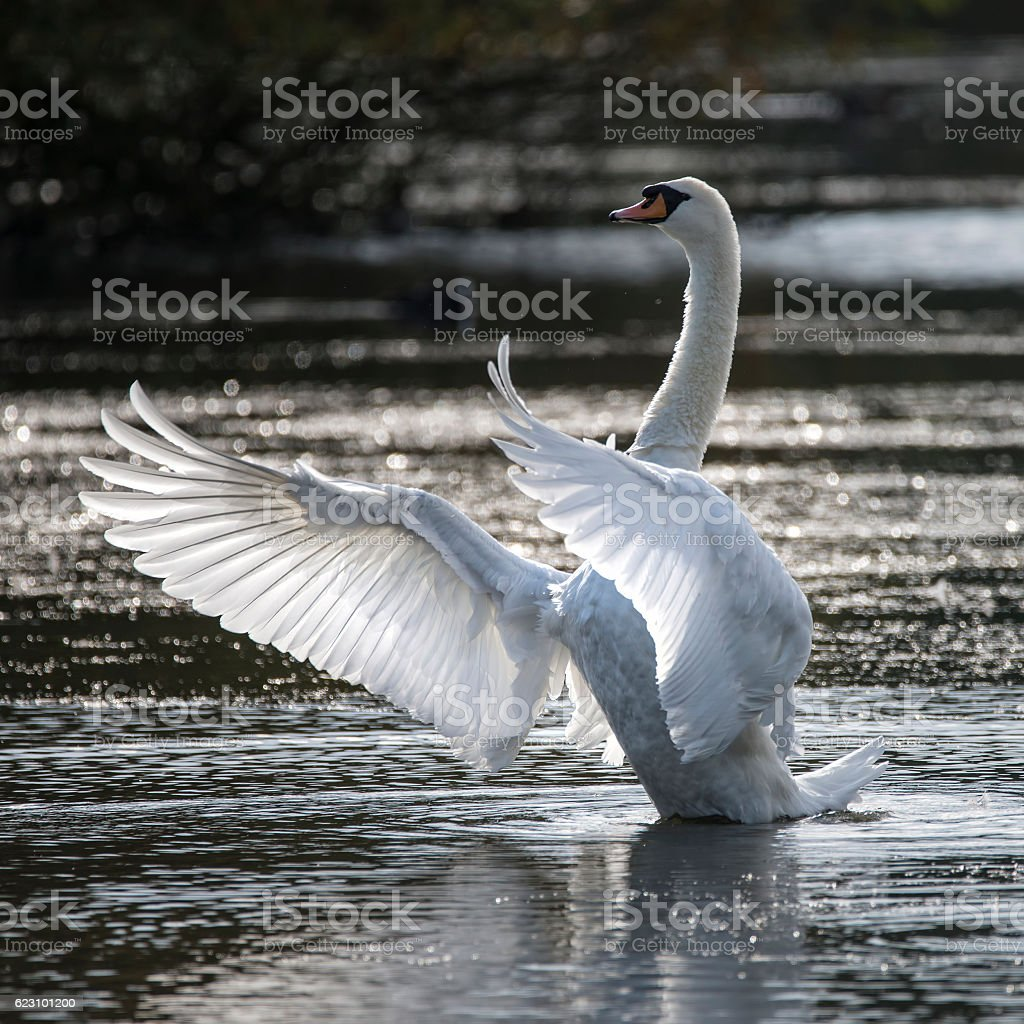 Graceful beautiful mute swan cygnus olor stretches its wings stock photo