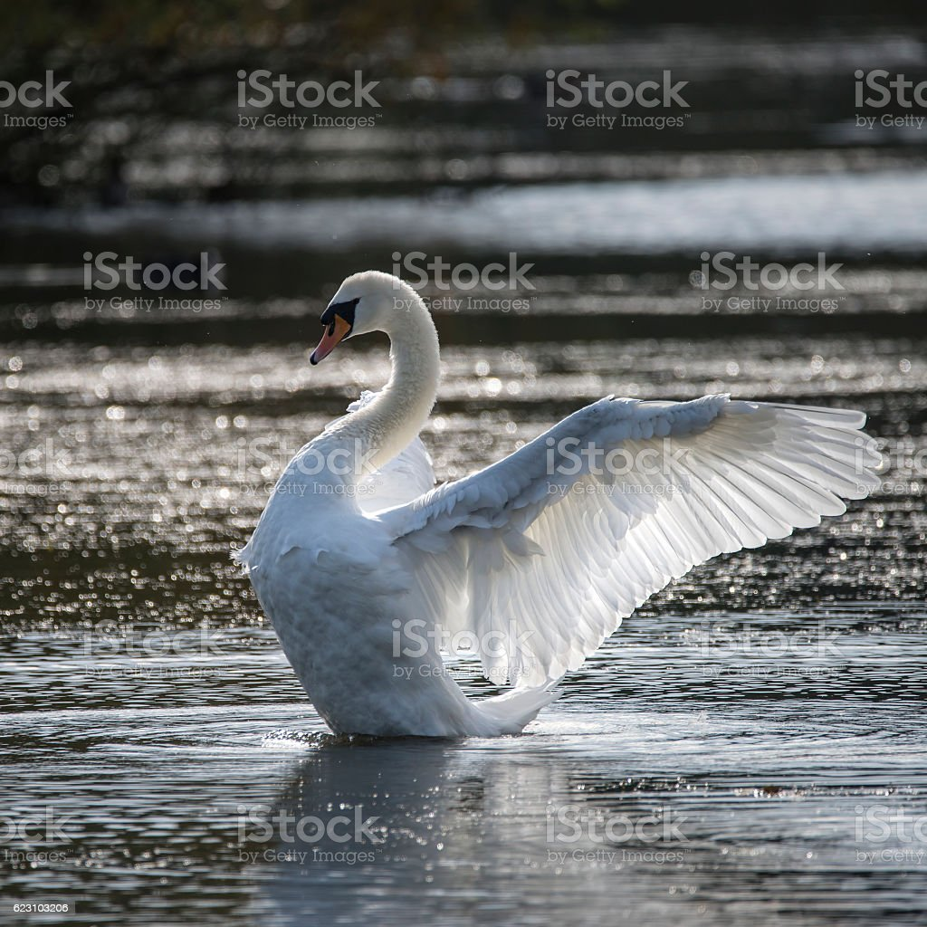Graceful beautiful mute swan cygnus olor stretches it's wings stock photo