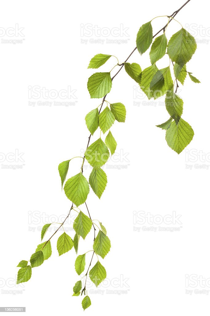 Graceful birch twig in backlight stock photo