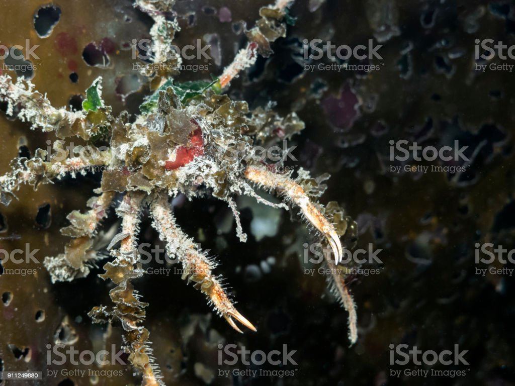 Graceful Decorator Crab (Oregonia gracilis) stock photo