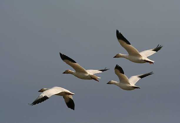 Graceful Goose Flight Four geese in flight with a graceful formation.  See more of my snow goose images in my portfolio. snow goose stock pictures, royalty-free photos & images