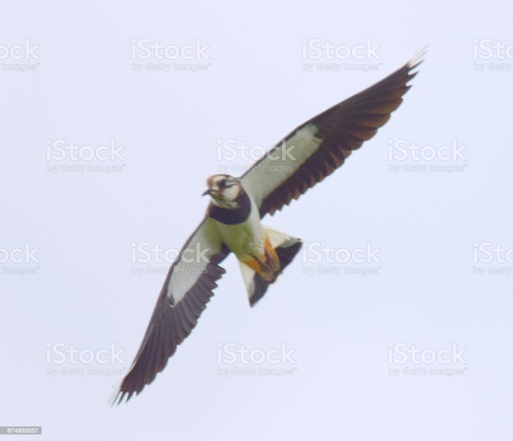 graceful  lapwing bird in flight flying close up royalty-free stock photo