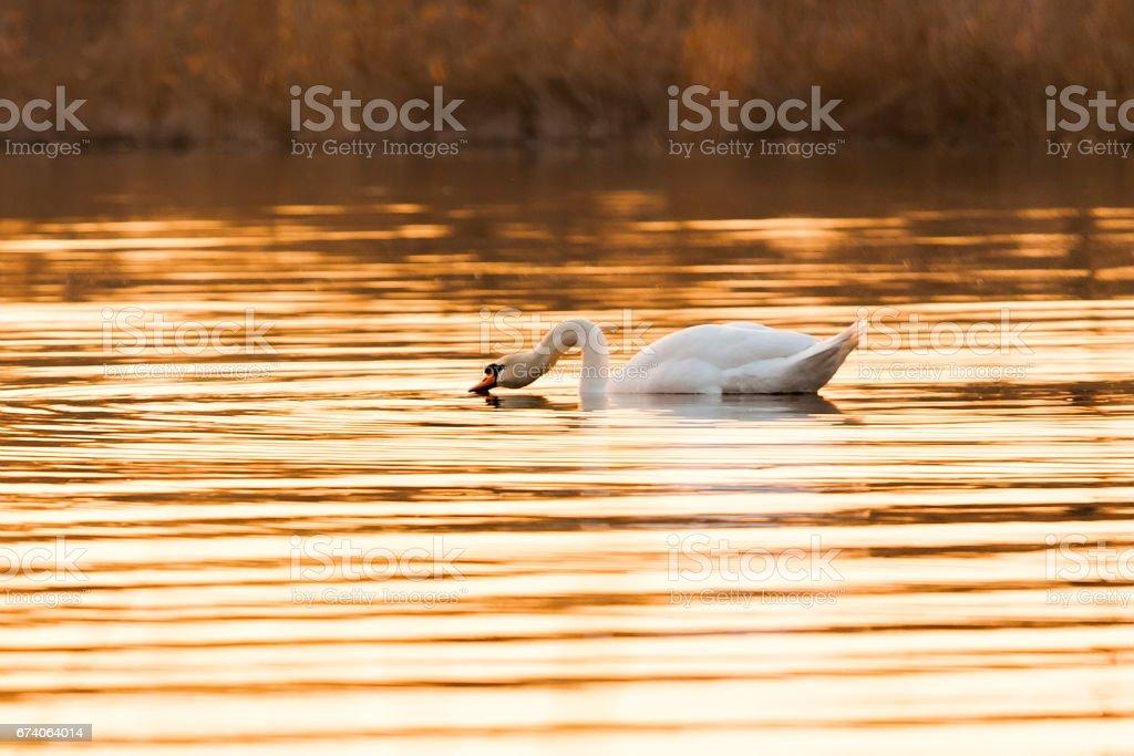 Graceful swan bird in golden lake royalty-free stock photo
