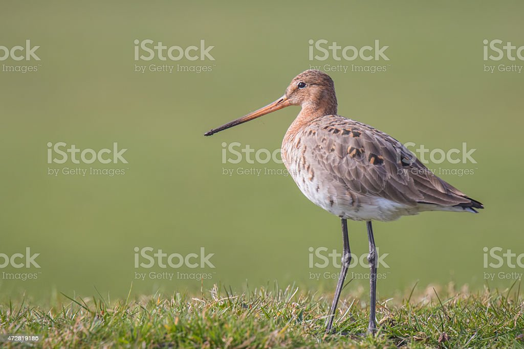 Graceful wader on a meadow stock photo