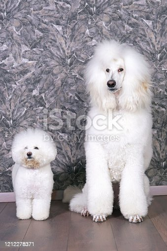 Graceful white Standard Poodle dog (Scandinavian lion show clip) sitting indoors on a laminate wooden floor next to a cute Bichon Frise dog with a stylish haircut (show cut)
