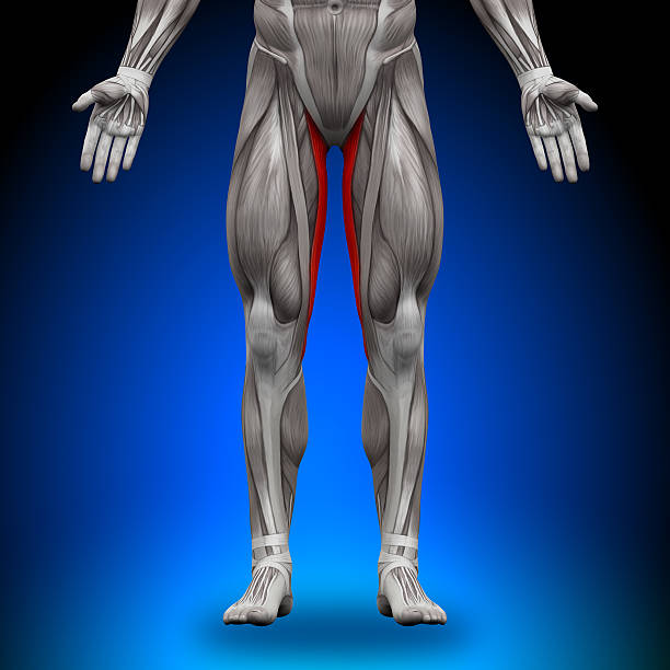 Royalty Free Gracilis Muscle Pictures, Images and Stock Photos - iStock