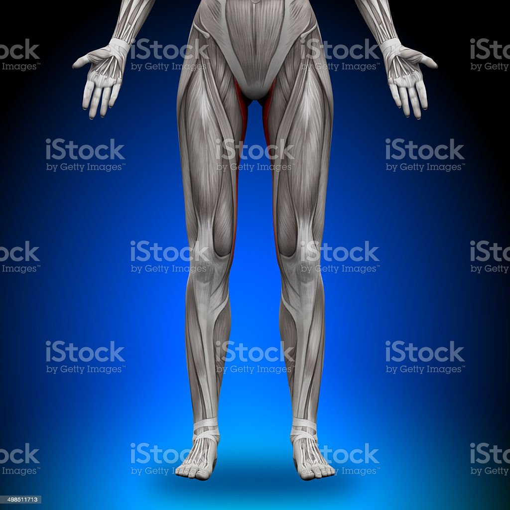 Gracilis - Female Anatomy Muscles stock photo