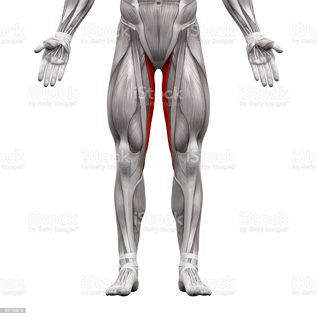 Gracilis Muscle Anatomy Muscles Isolated On White Stock Photo More