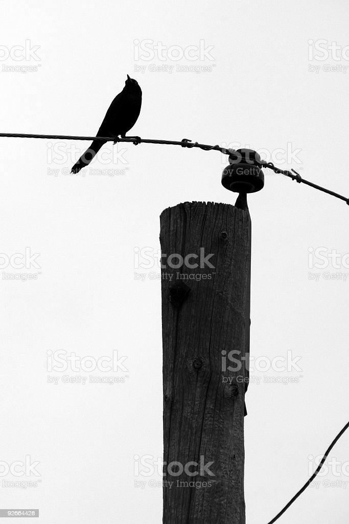 Grackle Bird Silhouette royalty-free stock photo