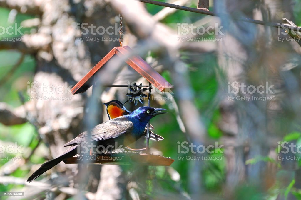 Grackle Eating Seed stock photo