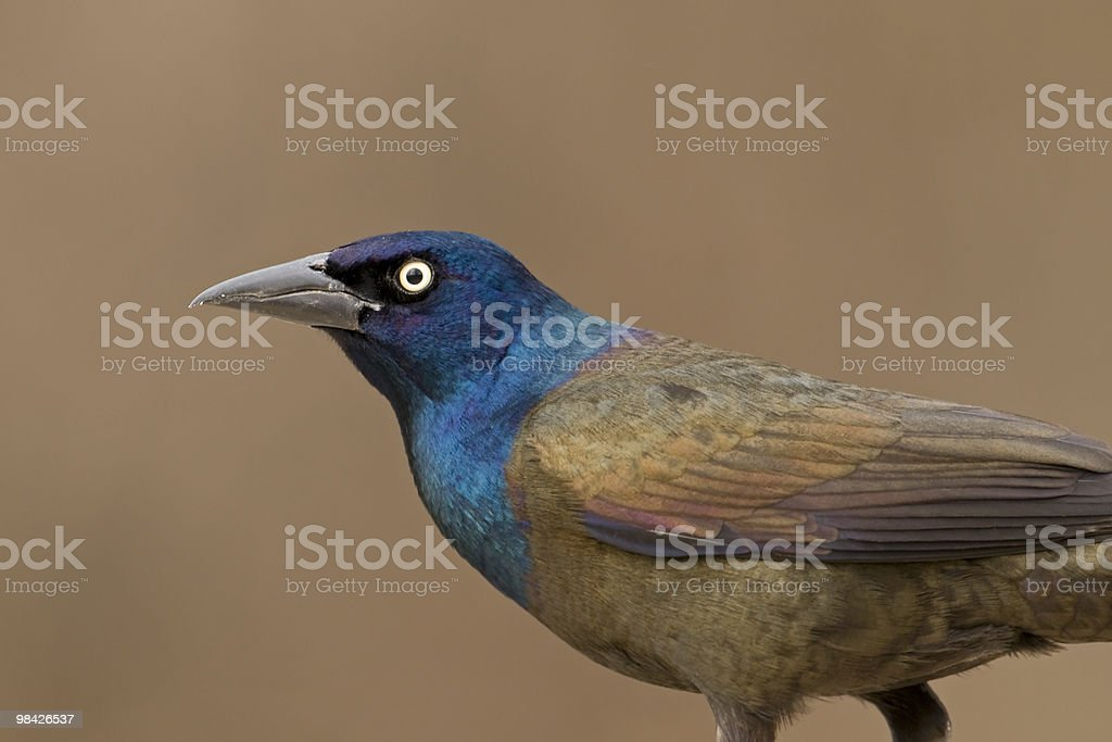 Grackle royalty-free stock photo