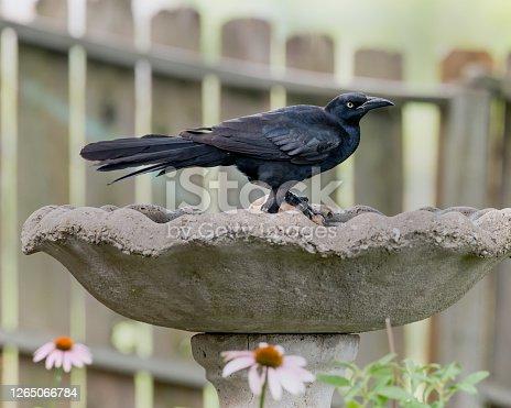 Black bird standing in a birdbath.