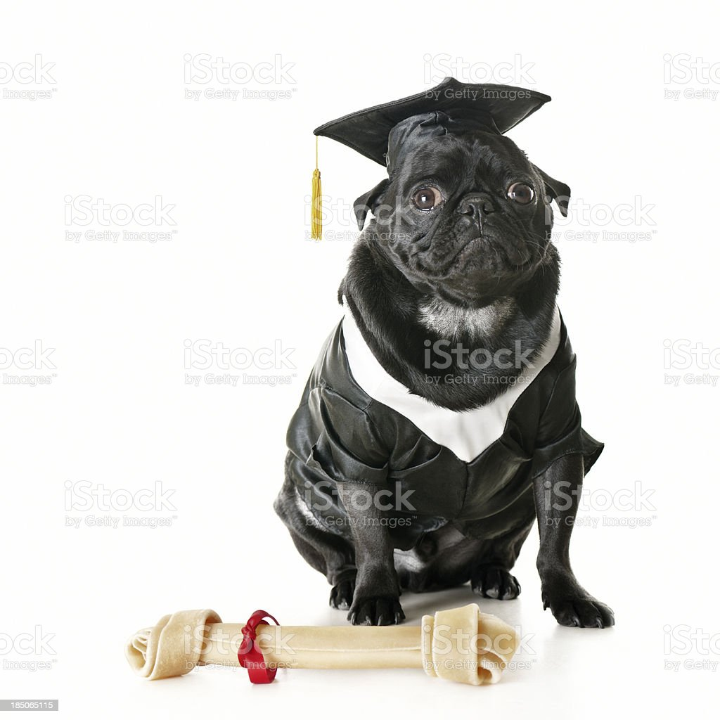Royalty Free Dog Cap And Gown Pictures Images And Stock Photos Istock