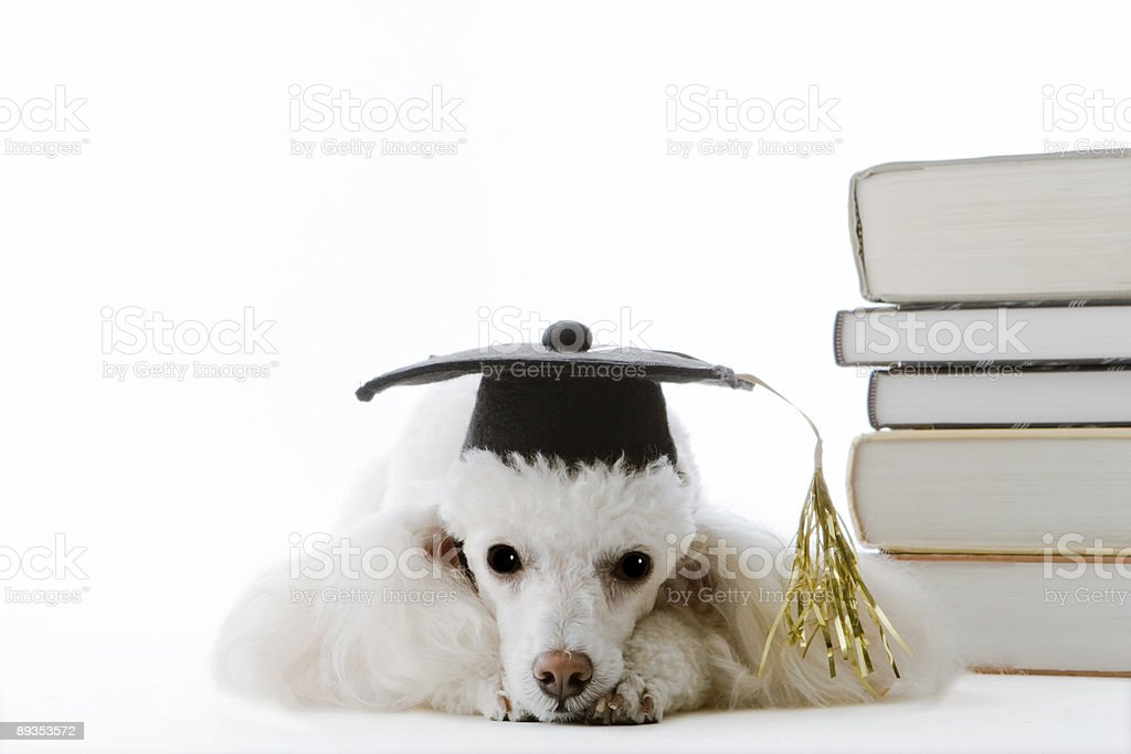 Graduating Poodle Taking a Study Break royalty-free stock photo