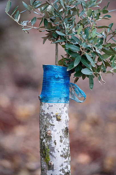 Grafting Olive Trees Stock Photos Pictures Amp Royalty Free