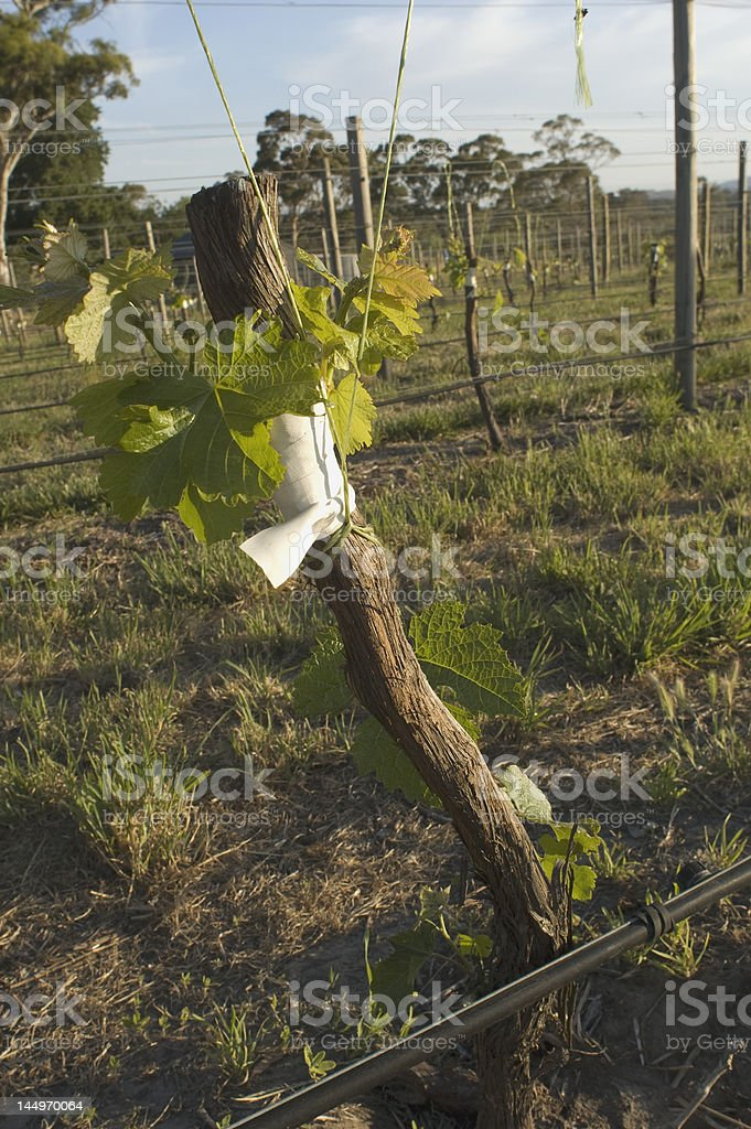 Grafting in grapevines stock photo