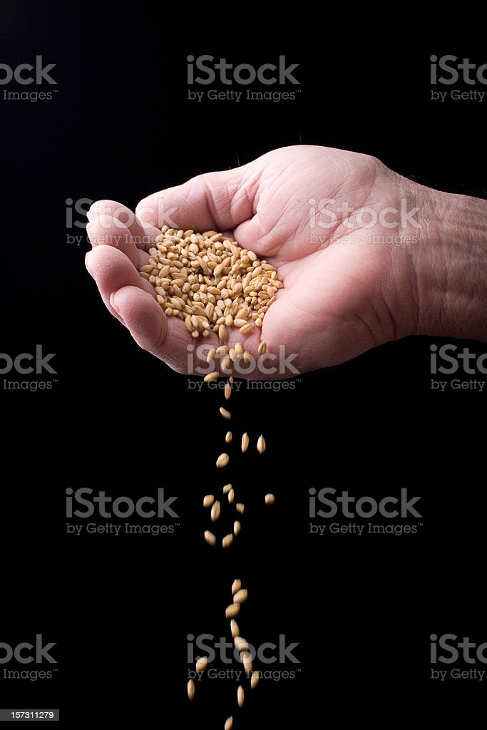 Grain and Hand royalty-free stock photo