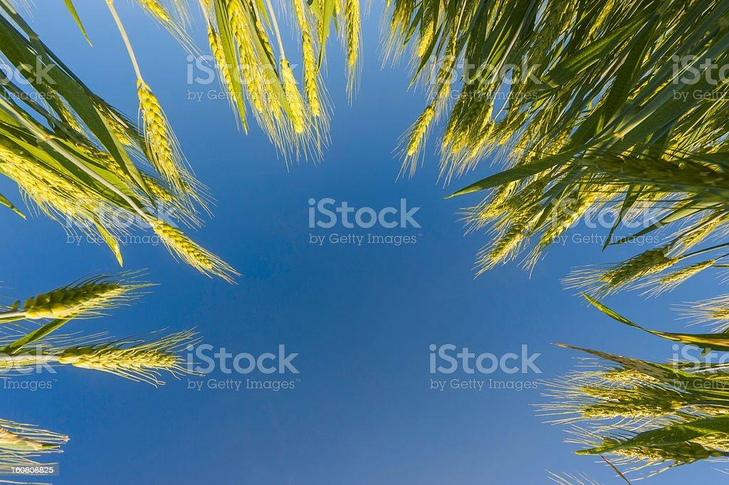 Grain and Sky royalty-free stock photo