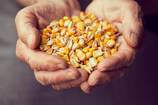 Grain corn Detail of an elderly woman's hands holding a handful of grain corn. Selective focus sweetcorn stock pictures, royalty-free photos & images