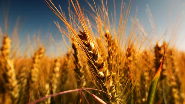 Champ de céréales à l'automne - Photo