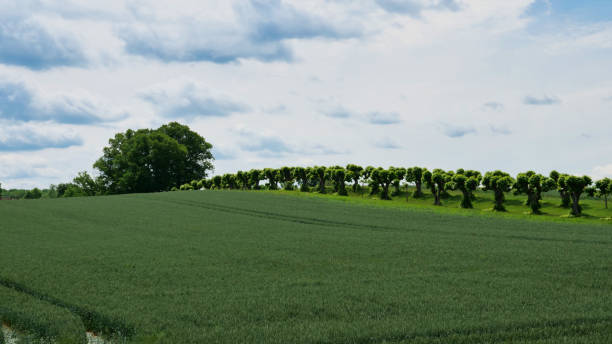 Grain field in spring with a view of a Feston avenue stock photo