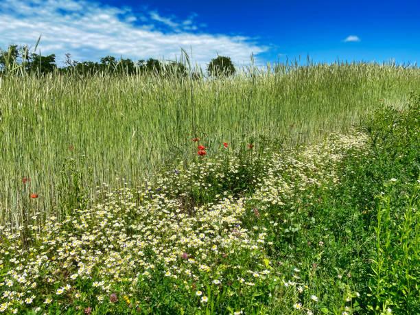 Grain field in summer stock photo