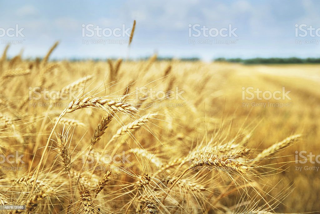 Grain field. Photo taken on 01.07.2013 stock photo