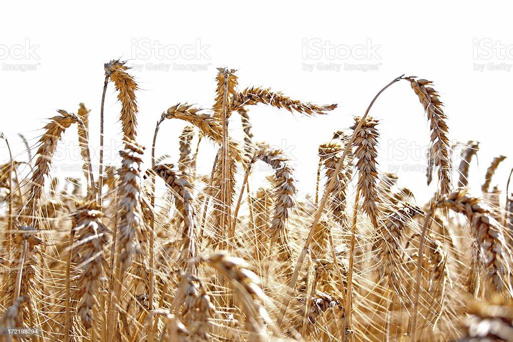 Grain field stock photo