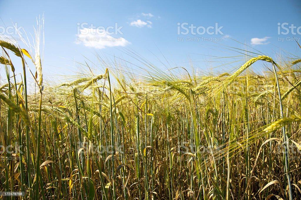 Grain field. royalty-free stock photo