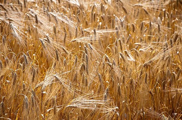 grain-field – Foto