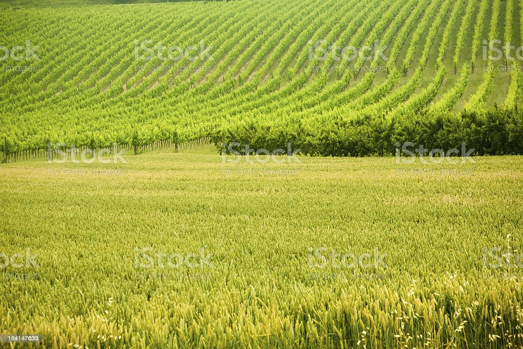 Grain field royalty-free stock photo