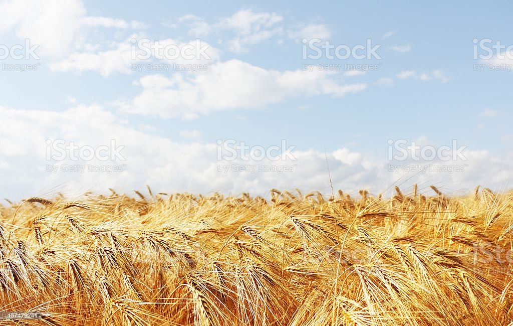 grain field with blue cloudy sky royalty-free stock photo