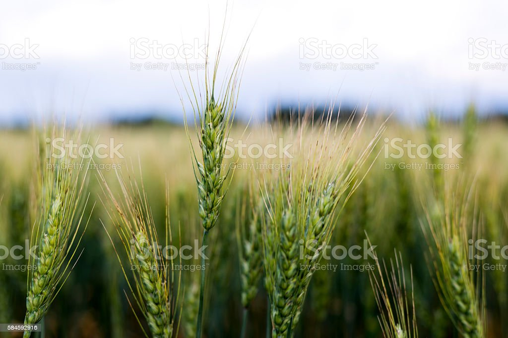 Grain head of wheat plant against field background stock photo