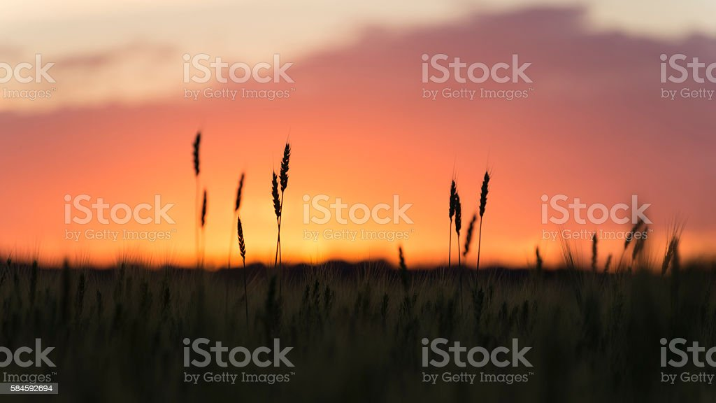 Grain heads of wheat plant silhouetted against sunset stock photo