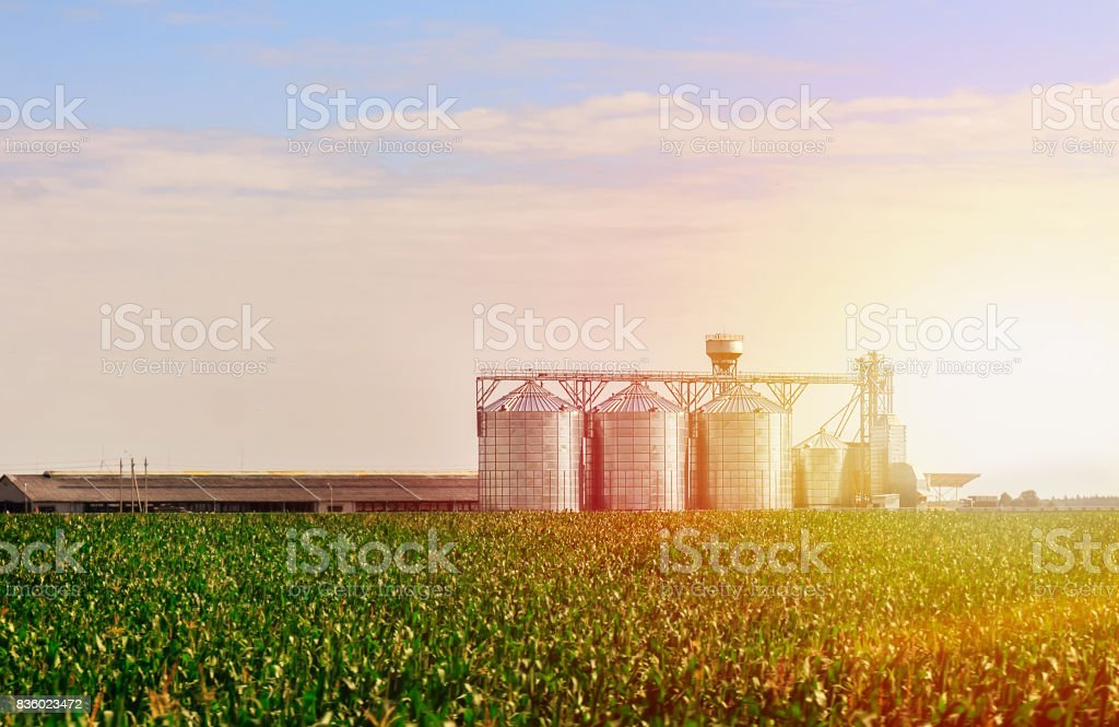 Grain in corn Field. Set of storage tanks cultivated agricultural crops processing plant. stock photo