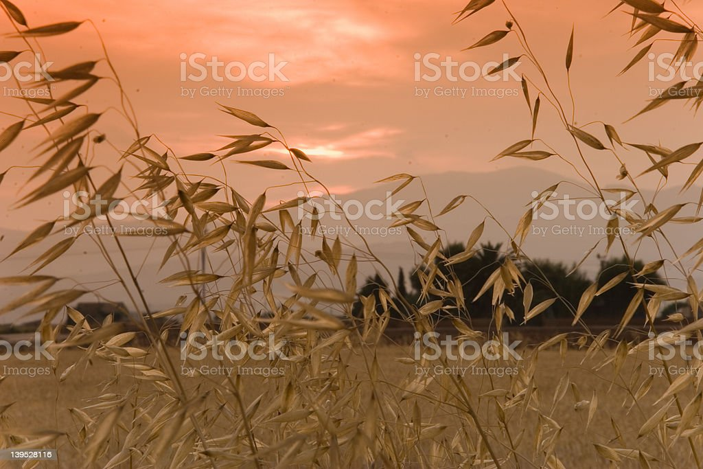 grain in sunset royalty-free stock photo