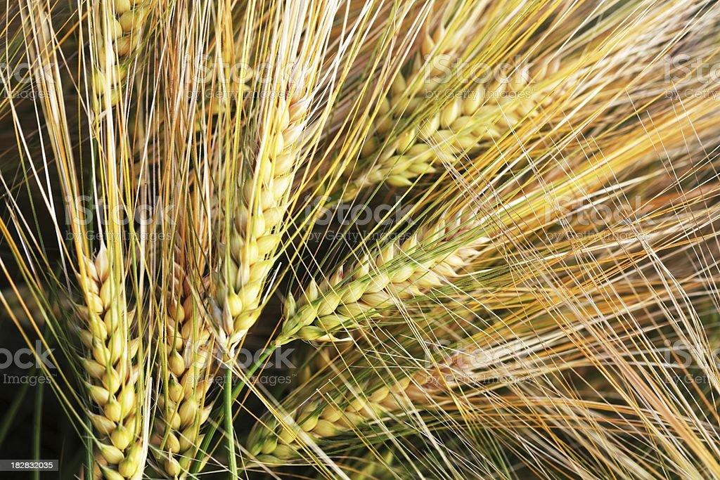 grain macro royalty-free stock photo