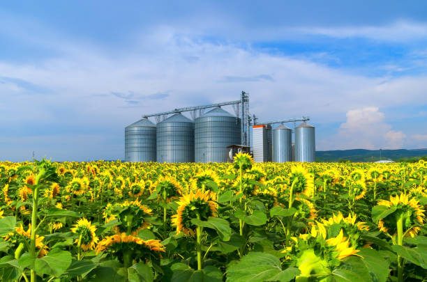 Grain silos in sunflower fields Silos. Warehouse storage of the harvest. Field with  agricultural cooperative stock pictures, royalty-free photos & images