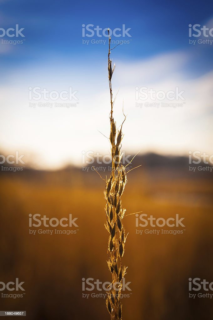 Grain stalk in field stock photo