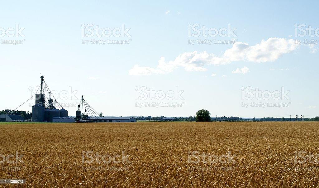 grain wheat royalty-free stock photo