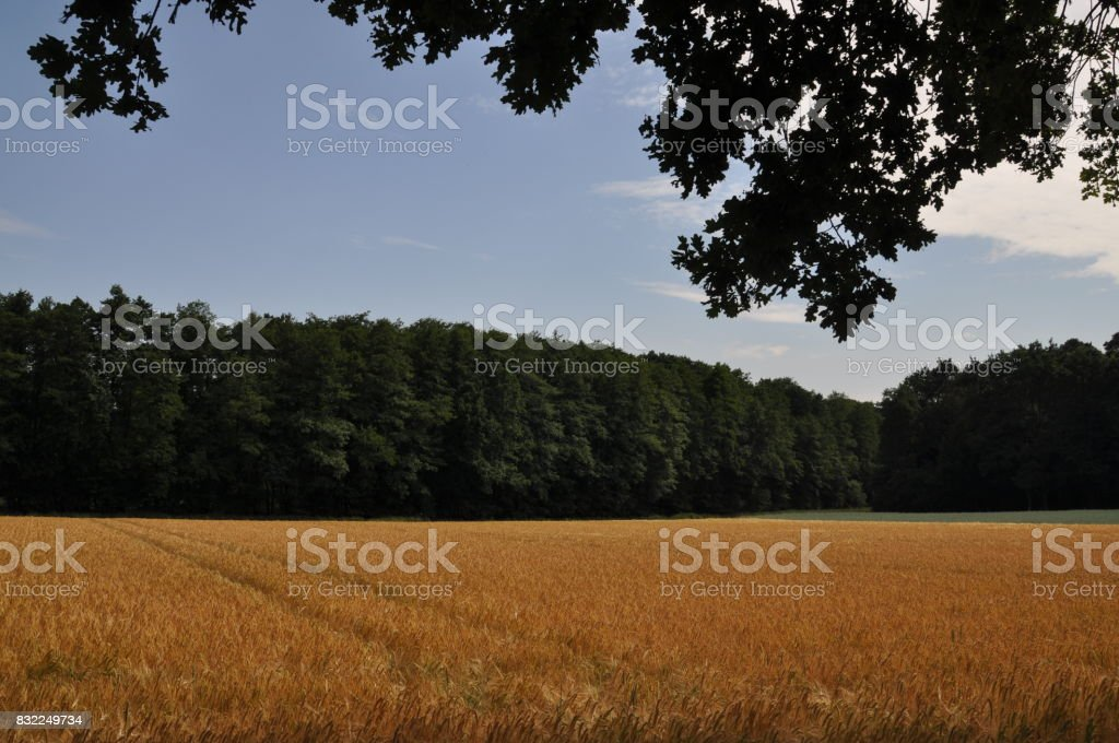 Grainfield stock photo