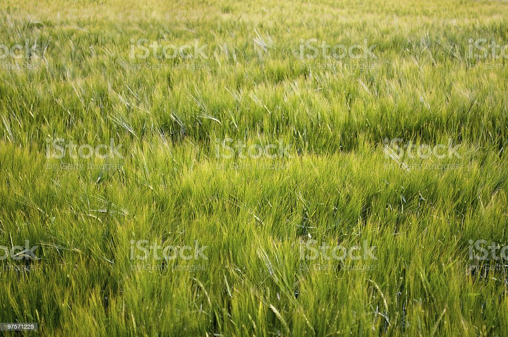 Grain-field royalty-free stock photo