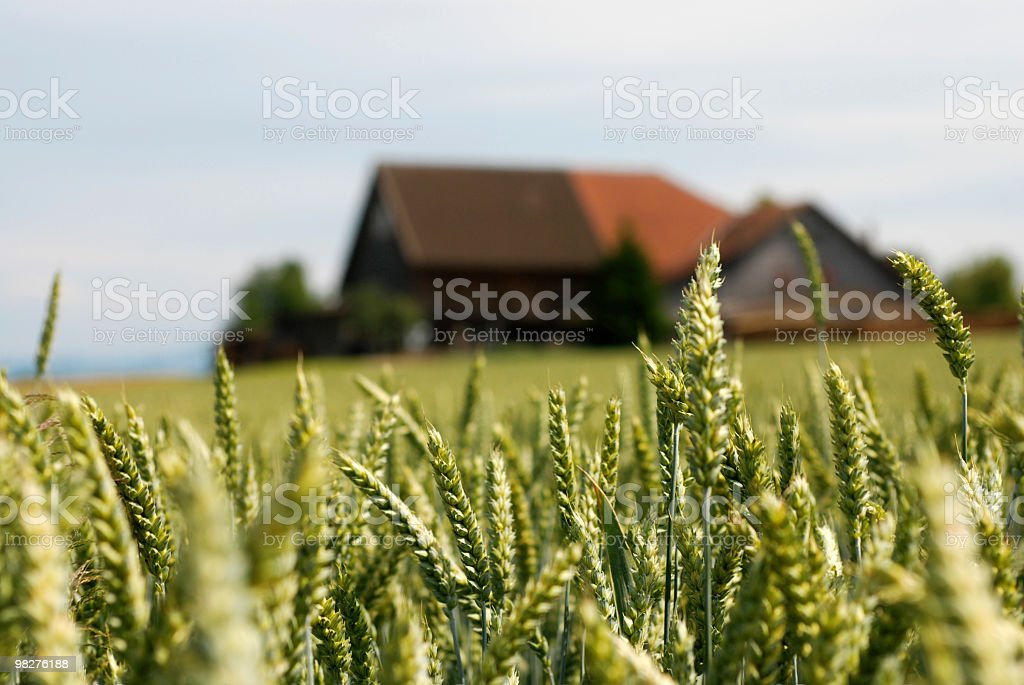 Grainfield with farmhouse royalty-free stock photo